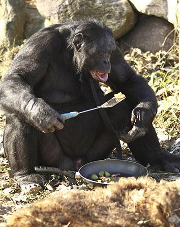Kanzi uses a spatula to eat from a pan on Nov. 11, 2011, in Des Moines, Iowa.