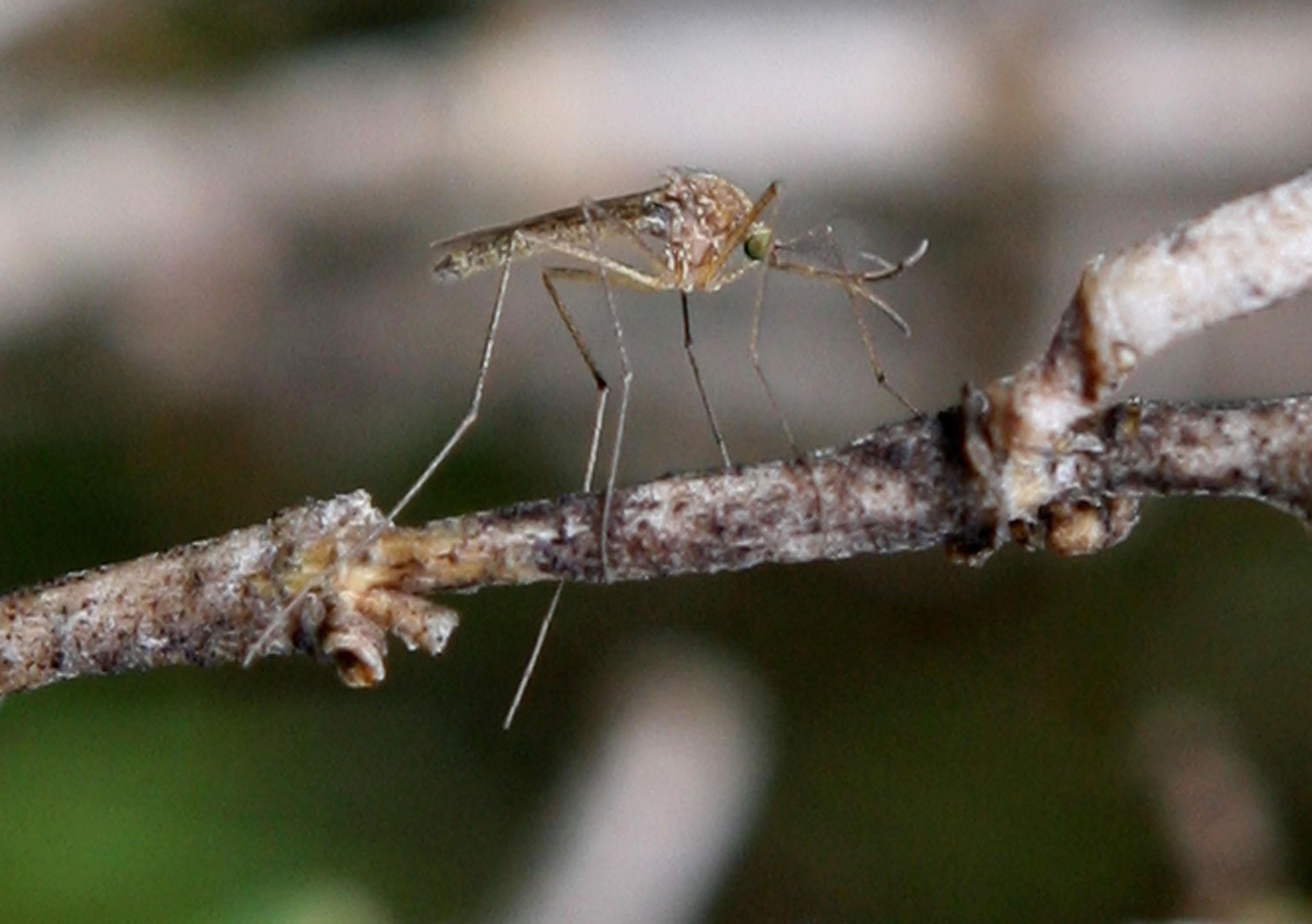 A mosquito sits on a stick.