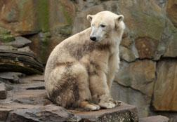 Why can polar bears breed with grizzlies? Click image to expand.