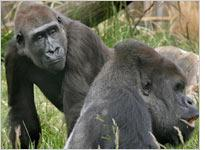 Two gorillas. Click image to expand