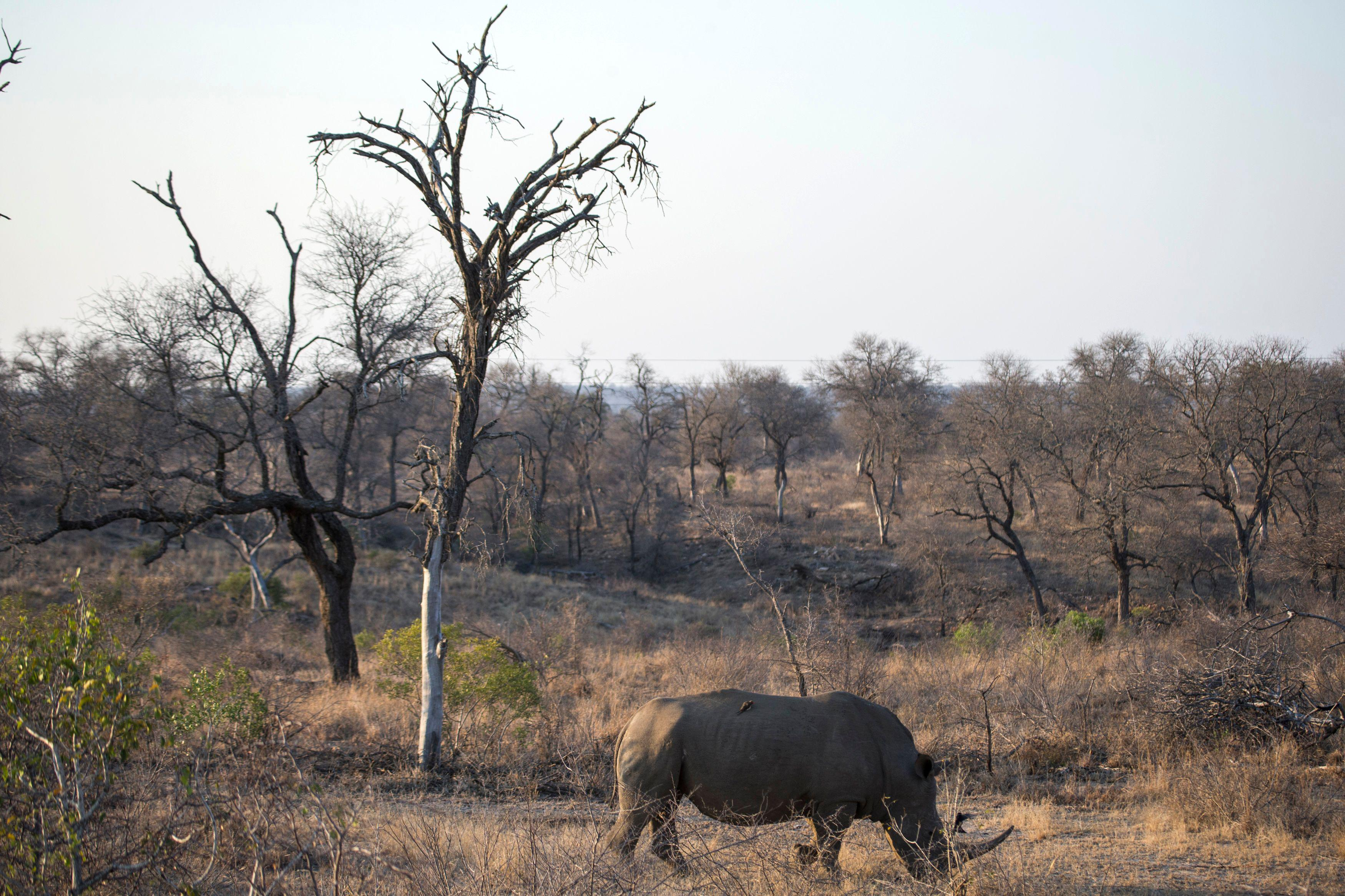 A white rhino is seen at the Kruger National Park on August 20, 2018.