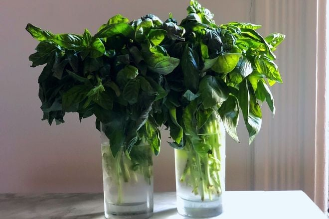 Two bunches of basil, the stems submerged in glasses of water while the leaves billow above.