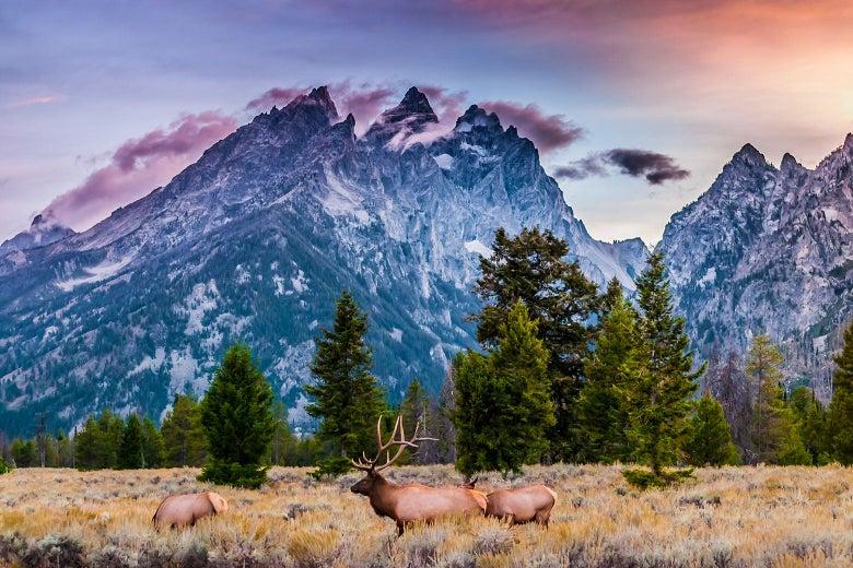 Elk graze in front of Grand Teton National Park in Wyoming.