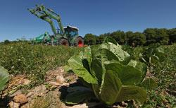 German farmer Tobias Haack drives a tractor over 100,00 heads of romaine, iceberg and ten other types of lettuce in order to mulch them back into the ground. Click image to expand.
