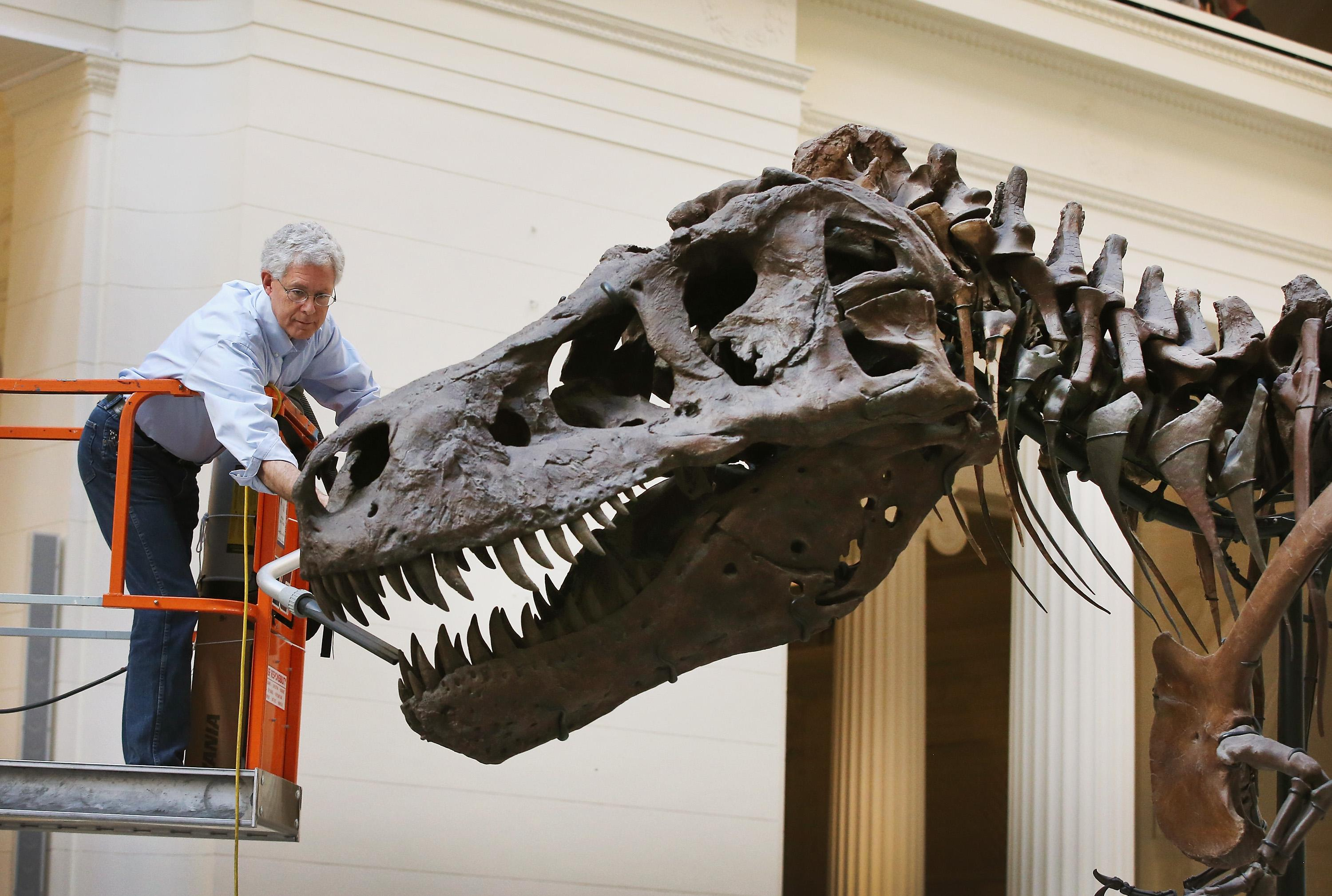 A geologist cleans Sue, a 67-million-year-old Tyrannosaurus Rex on display at the Field Museum in Chicago, Illinois.