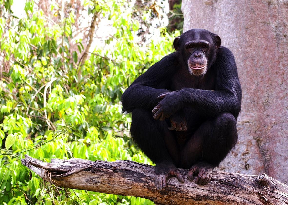 Chimpanzee in West Africa.