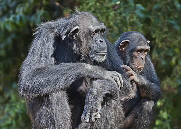Portrait of female chimpanzee with a baby