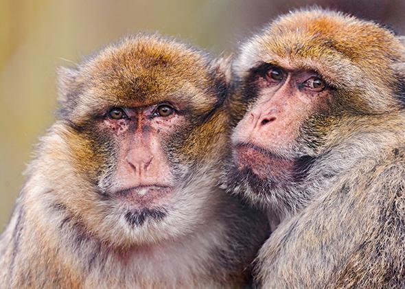 Two macaques warm each other.