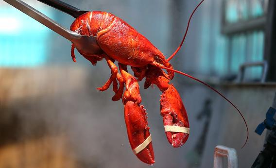 A freshly cooked lobster from a pot.