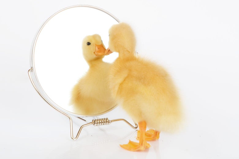 A duck looking at itself in a small mirror