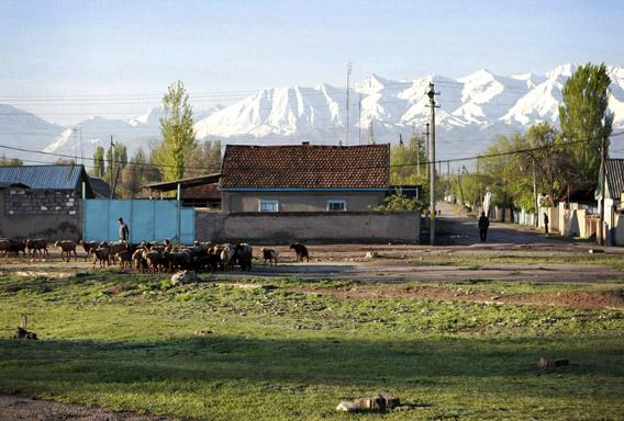 A man herds sheep in the outskirts of the Kyrgyz town of Tokmok April 20, 2013. Boston bombing suspect Dzhokhar Tsarnaev was born in the central Asian city.