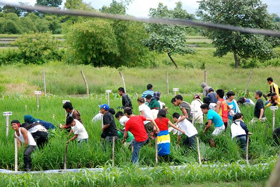 Crowd attacking golden rice field in the Phillipines.