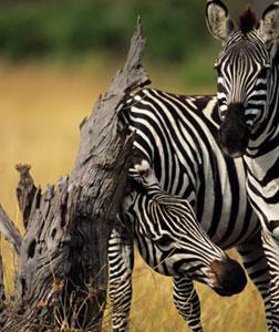 Zebras. Click image to expand.