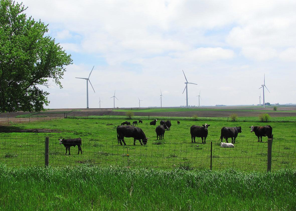 Cattle graze near wind turbines in Northwest Iowa.