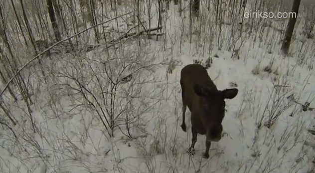 Moose viewed by drone