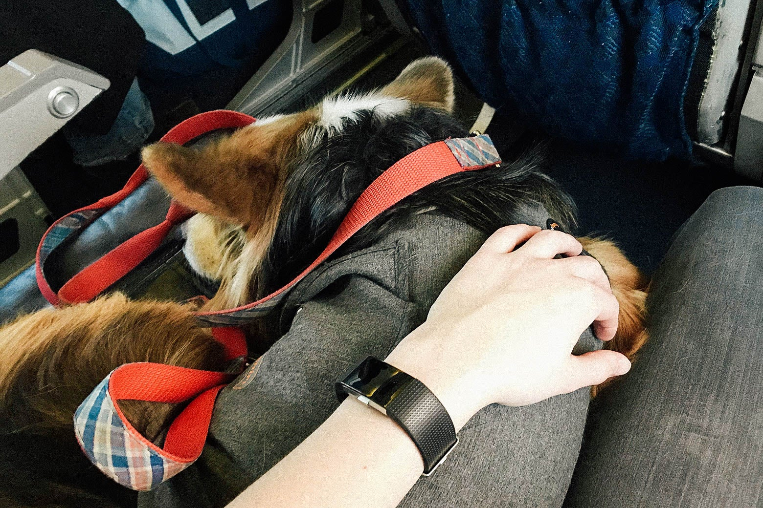 An emotional support corgi sleeps quietly next to a passenger on a plane.