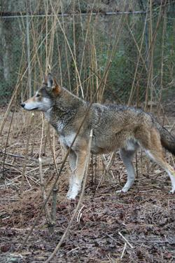 A red wolf