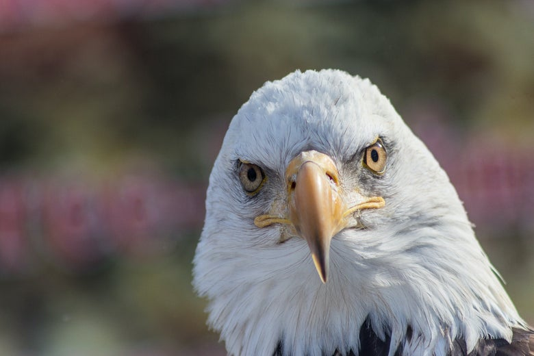 A bald eagle looks directly at the viewer.