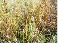 Switch grass can be used to derive cellulosic ethanol. Click image to expand