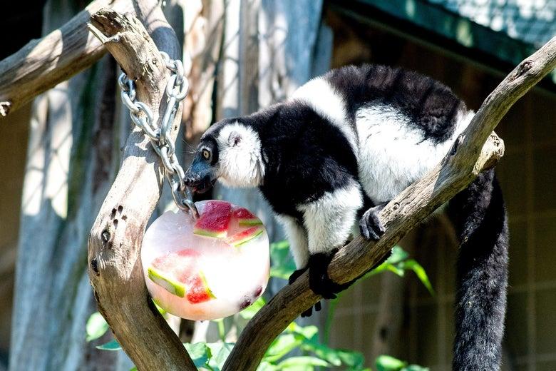A black-and-white ruffed lemur eats a frozen watermelon