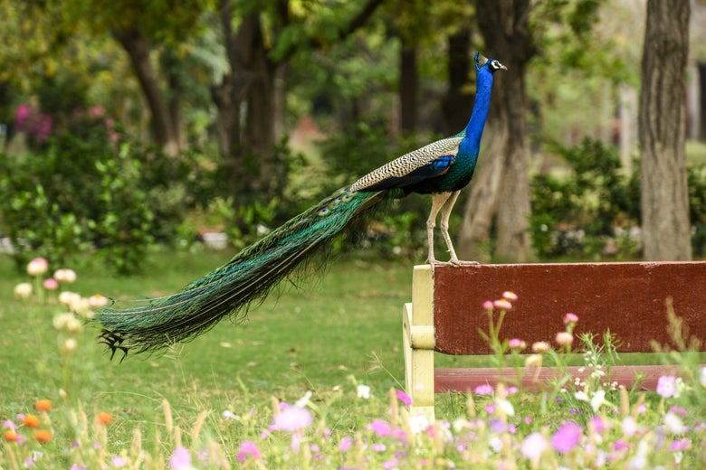 Peacock standing on a bench in a garden