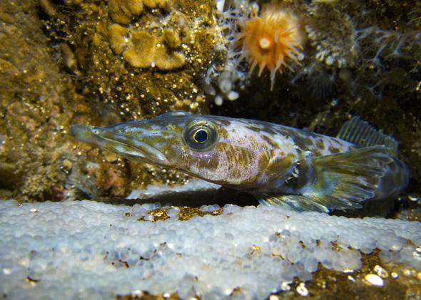 Jetty fish and eggs in the Antarctic reef floor.