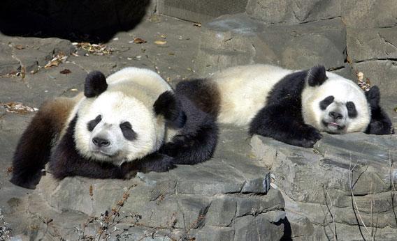 Giant Pandas Tian Tian and Mei Xiang.