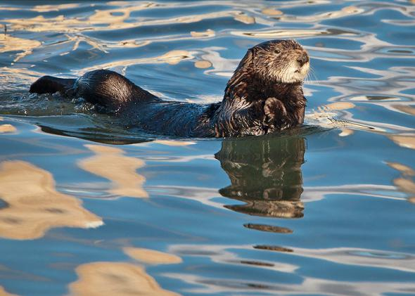Sea Otter (Enhydra lutris) with reflections of white clouds in a calm blue Morro Bay, Calif., Nov 2010.