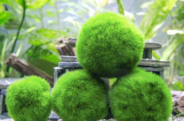 Marimo Moss Balls.