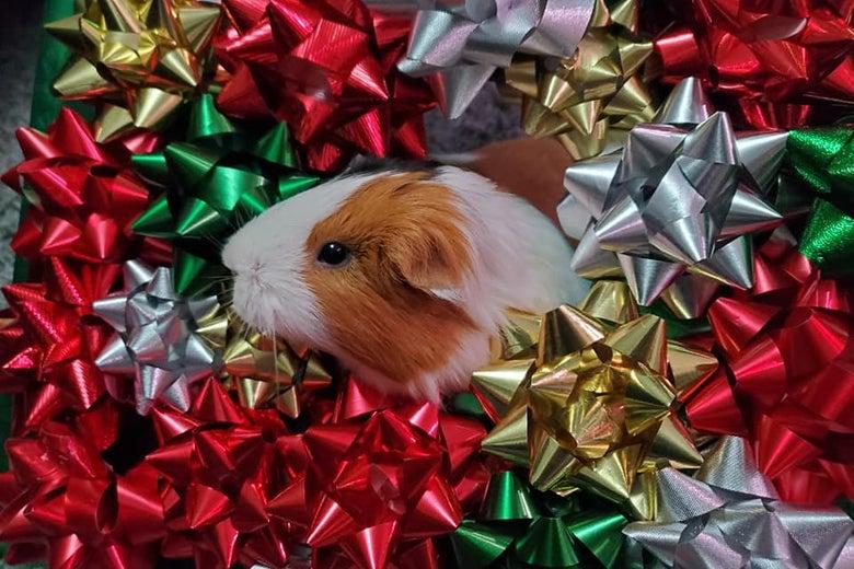 A guinea pig in a bow wreath!