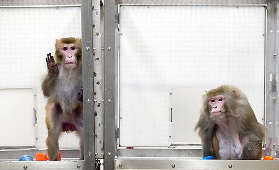 Rhesus monkeys, left to right, Canto, 27, and on a restricted diet, and Owen, 29, and a control subject on an unrestricted diet, at the Wisconsin National Primate Research Center at the University of Wisconsin-Madison on May 28, 2009