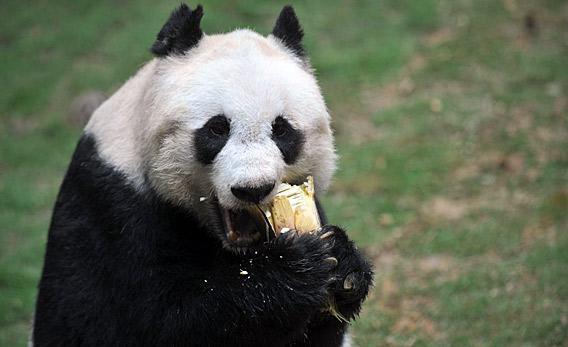 Jia Jia the giant panda eating.