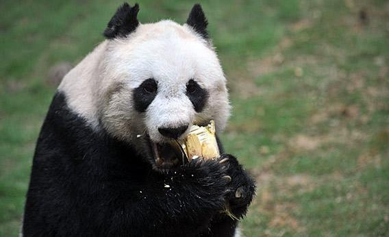 Jia Jia the giant panda eating.