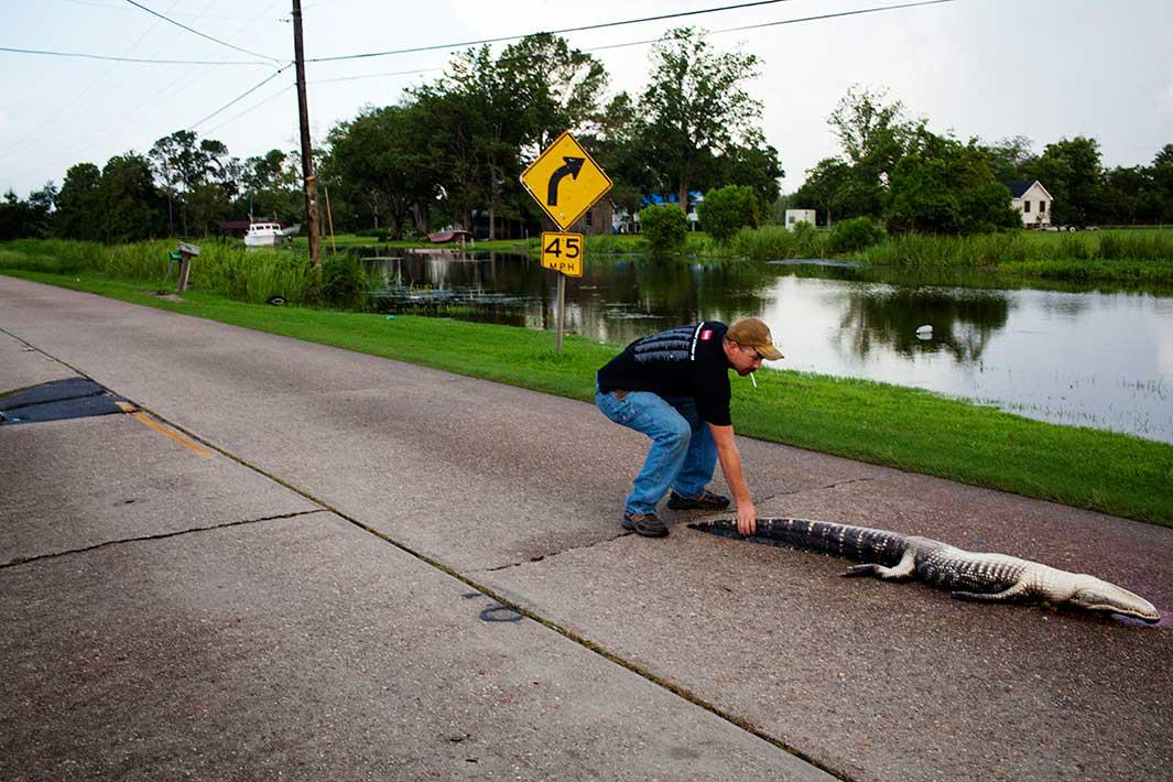 A man hauls a dead gator off the road after it was hit by a car in Houma, Louisiana on July 6, 2010.