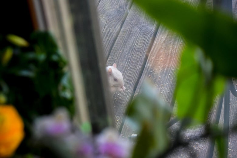 A pale squirrel having a snack visible through a vignette of flowers.