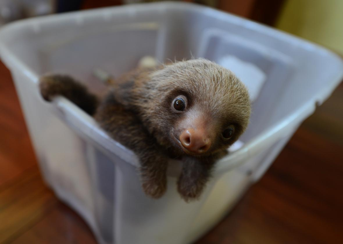 Is it legal to own a sloth in the U S ?