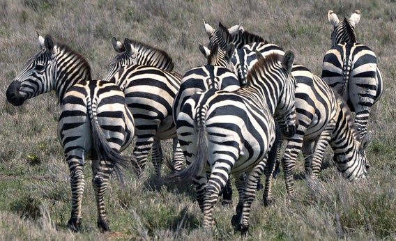 Can zebras be domesticated and trained?