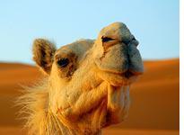 Camel at dawn