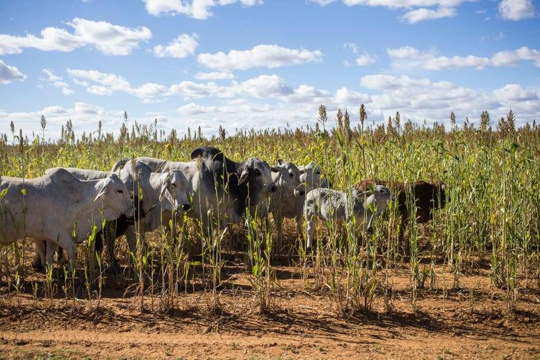 Cows walk between crops in a sparse field.