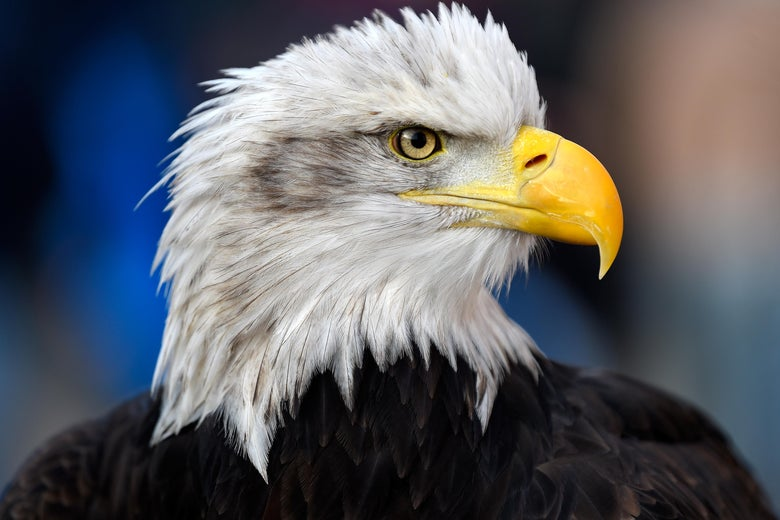 LONDON, ENGLAND - JANUARY 13:  Crystal Palace's bald eagle mascot Kayla is seen prior to the Premier League match between Crystal Palace and Burnley at Selhurst Park on January 13, 2018 in London, England.  (Photo by Mike Hewitt/Getty Images)
