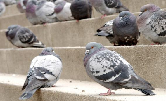 City pigeons in the street.
