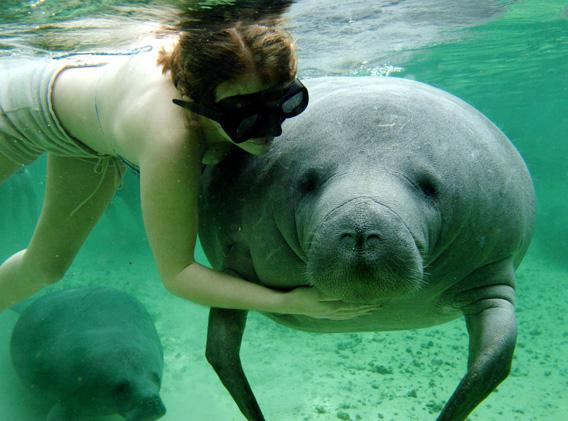 Woman petting endangered manatee in Florida.