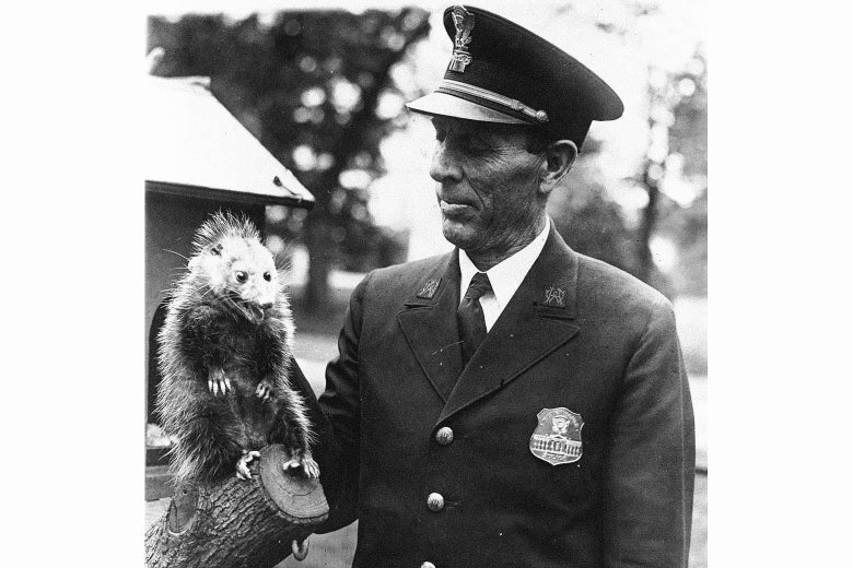 An insane-looking possum glares at the camera as a police officer looks on.