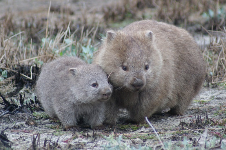 A mom and baby wombat sit close together in a field