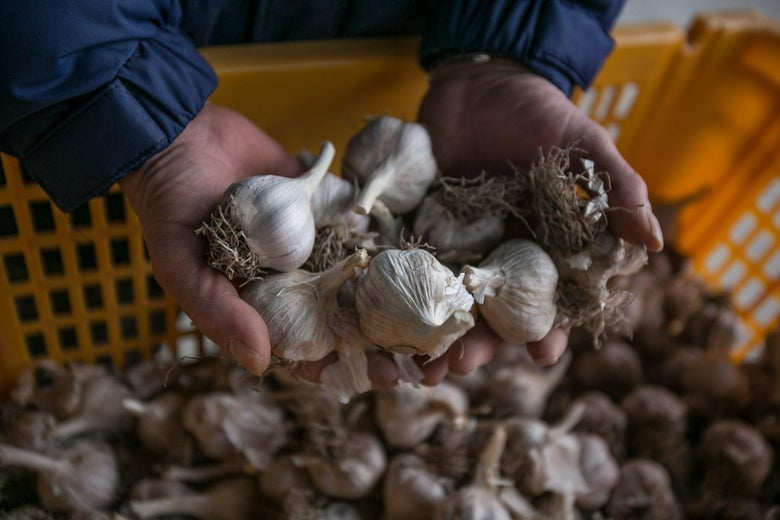 A farmer shows the 'Uiseong garlics' in the storage of his farm.