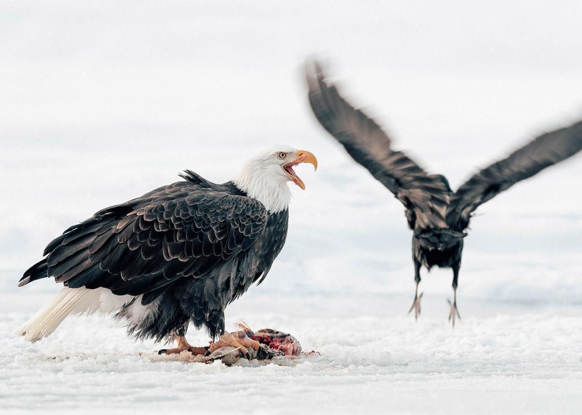Two bald eagles, Alaska.