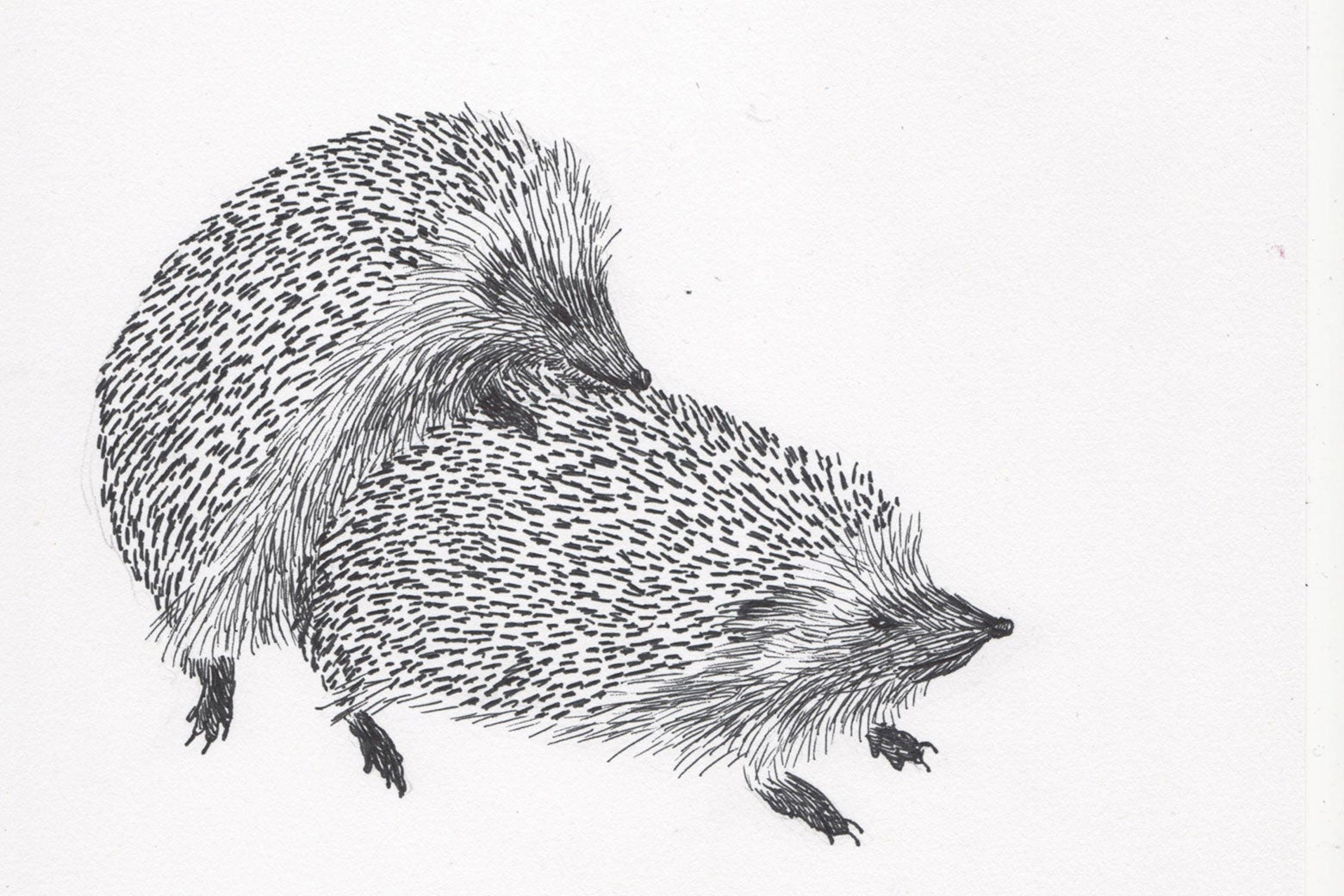 Hedgehogs doin' it.