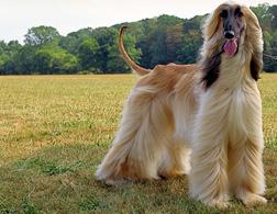 An Afghan hound. Click image to expand.