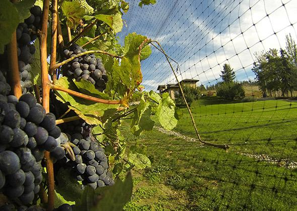 Pinot noir is also a favorite of birds, which explains the netting over these vines at Eh Nihilo Vineyards in British Columbia's Okanagan Valley.