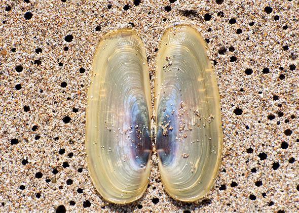 Pacific Razor Clam (Siliqua patula).